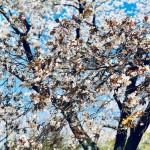 桜  ~ 2019 ~
